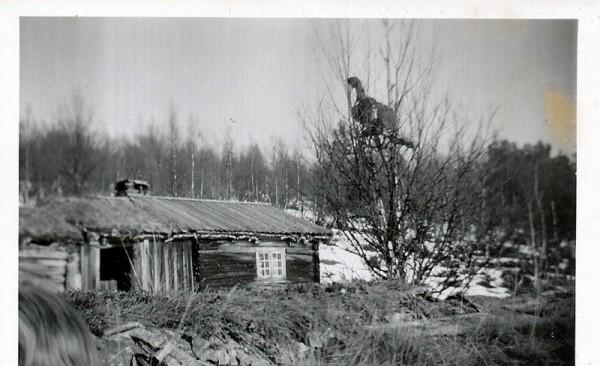 Bilde av tiur i V-Grytdalen foto Rolf Øvergaard