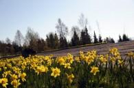Bilde av påskeliljer ved parkplassen ved Sollia kirke. Foto Jo Øvergaard