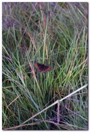 Bilde av Neslesommerfugl foto Bjørn Brænd