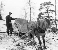 Storfuru  som ble portstolper ved Kafeen. I den senere tid kappet 40-50 cm på begge stolpene. foto Einar Modahlen