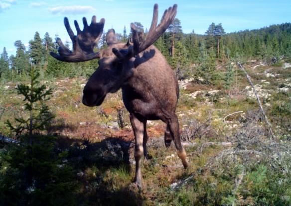 Bilde av elg i Brelia. Foto Live Kulsvehagen/viltkamera