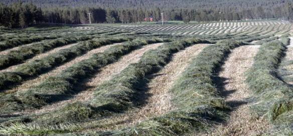 Grasstrenger på Stor-jordet hass Anton foto Jo Øvergaard