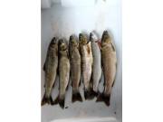 Atnsjøfiskens genetiske variasjon
