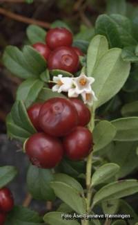 Bilde av tyttebær. Foto Åse Synnøve Rønningen