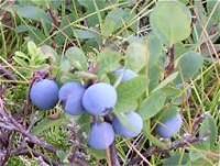 Bilde av skinntryte (blokkebær). fra nettet.