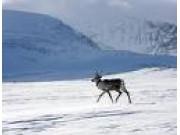 Rensjakt Rondane Sør og Finnsjøsfjellet
