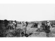 Historisk bilde med løvhøsting