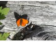 Oransjegullvinge - sommerfugl i seterlandskapet