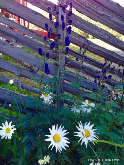 1-15 1014 blomster ved skigard UFV