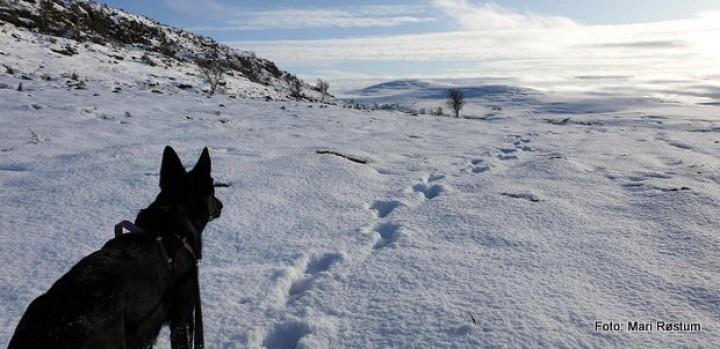 1-19 1013 elgspor i fjellet
