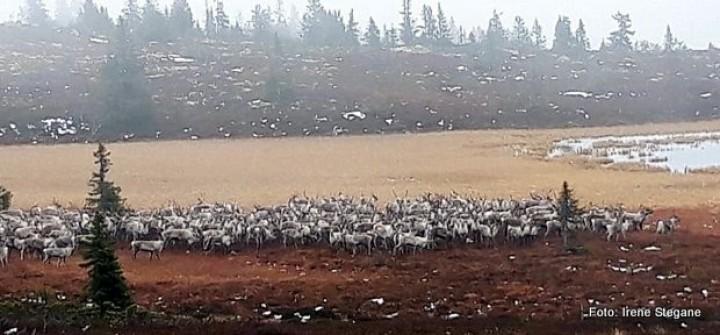 1-19 1024 rensdyr Øyungen i Ringsaker