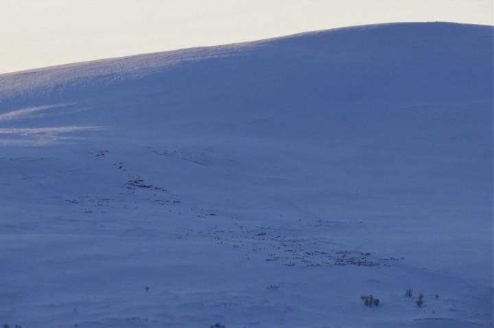 19 1226 rensdyr i Snødølhøgda