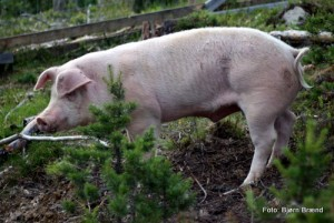20 0917 Glad gris med et fritt liv og eget grishus