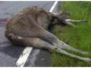 Elg ihjelkjørt nordi Atndalen
