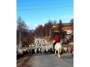 Sauesamling fra hesteryggen