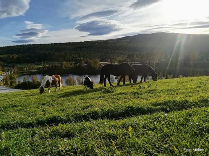 20 1712 hester på sommerbeite