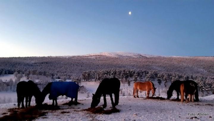 21 0105 hester på vinterbeite